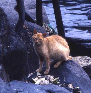 海岸の岩場に置かれた雑魚がネコのエサになっている(福岡・相島で、筆者撮影)