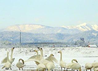 朝日連峰を望む地に飛来した白鳥の声がこの冬も響き渡った(山形県寒河江市)=山形支局