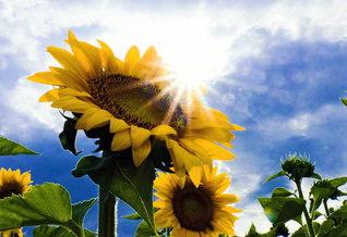 陽光を浴びて大輪を咲かせるヒマワリ。広布に汗する日々が、たくましき信心を育む(長野県松本市)=長野支局・森田昭治通信員