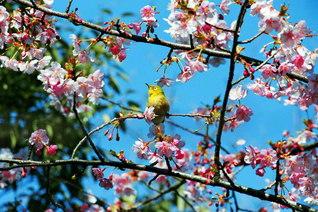 春はもうすぐ。ほころび始めた早咲きの桜に誘われ、メジロもやって来た。枝から枝へと巡り、花々と対話を交わすかのように(池田先生撮影、今月、都内で)