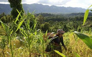 山間部の傾斜地に大人の背丈ほどに実った陸稲が黄金色に輝く(2009年8月、タンチ村)