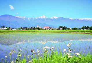 残雪輝く北アルプスが水田の水面に映る。自然の恵みを受けた稲は、「実りの秋」に向かって、日々、成長し続ける(長野県安曇野市)