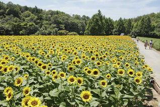 世羅高原農場の「ひまわりまつり」では約50品種110万本のヒマワリが園内いっぱいに(広島県世羅町)=中国支社