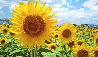 佐賀市の「ひょうたん島公園」。約25万本のヒマワリが大輪を咲かせ、見る人に元気を送った=佐賀支局