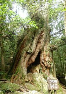 切り株の上に落ちた種が発芽して成長した「二代大杉」(鹿児島県屋久島町)=九州支社・土屋壽春通信員