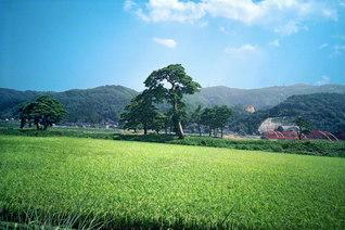 陽光を浴び、緑の濃淡が映える砺波(となみ)の田園(1984年8月、池田先生撮影)